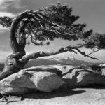 Ansel Adams Jeffrey Pine