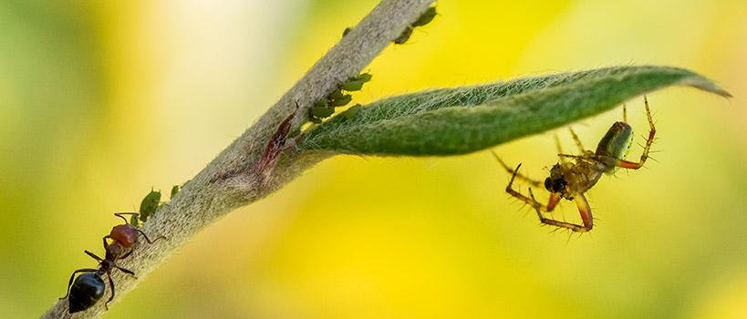 Une araignée se cache pour voler ses pucerons à une fourmi©Florent Chatroussat, Infotographiste