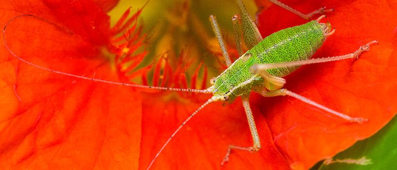 Sauterelle verte sur fleur rouge - Macrophotographie©Florent Chatroussat, Infotographiste